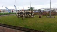 Zulus Traditional Dancing - Indlamu
